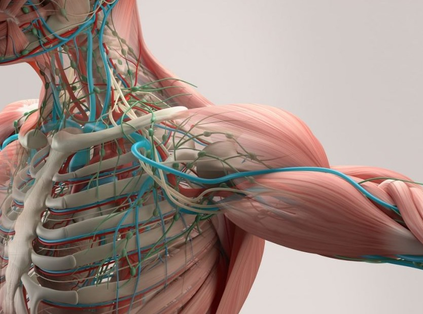 Que estudia la anatomia